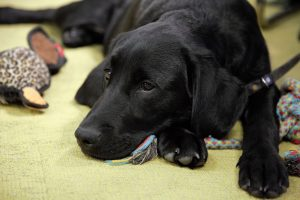 Anchor - guide dog